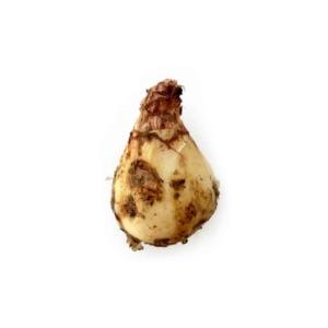 پیاز عنصل