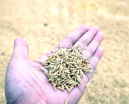 چلتوک برنج